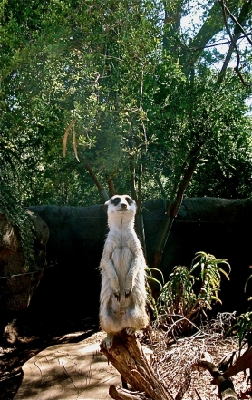 Meerkat to the Eye: 'You surely don't mean, me?' - postgutenberg [at] gmail.com