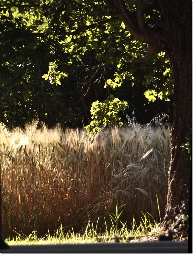 Campi di Grano 1 - photograph: MIL22