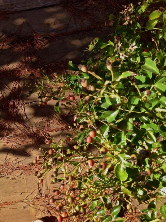 rose seeds closeup