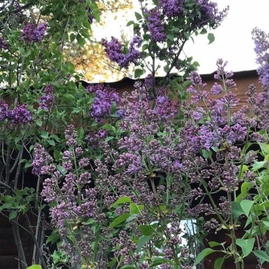 lilacs blooming 10 may 2018 SC postgutenberg@gmail.com