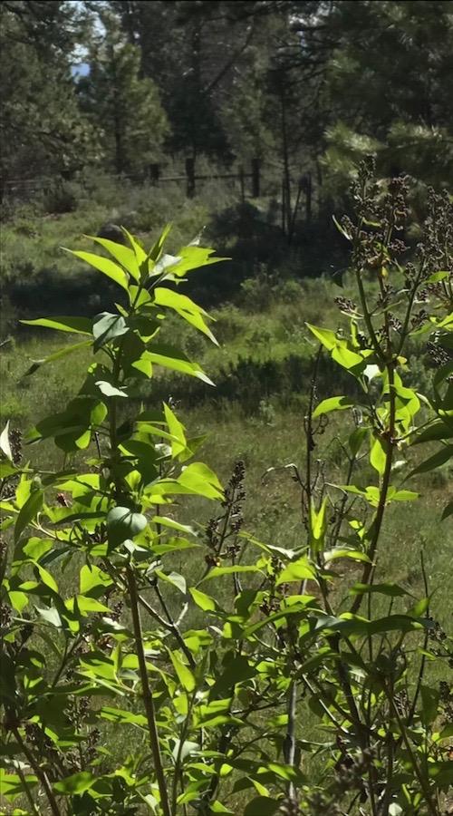 lilacs green gold 6 may 2018 SC postgutenberg@gmail.com