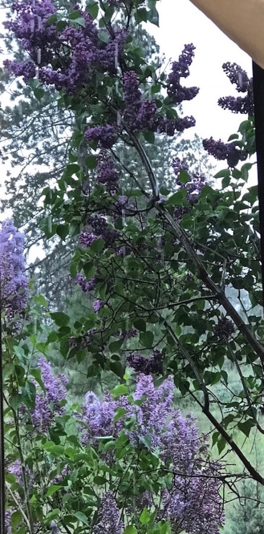 lilacs in bloom in thunderstorm 15 may 2018 SC postgutnberg@gmail.com