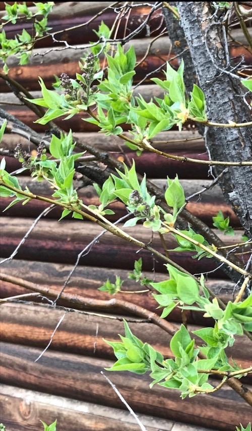 lilacs sprouted 28 april 2018 SC postgutenberg@gmail.com