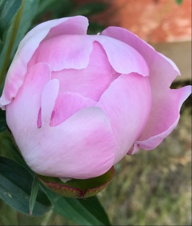 Let a hundred flowers blossom - pink peony bud - postgutenberg@gmail[dot]com